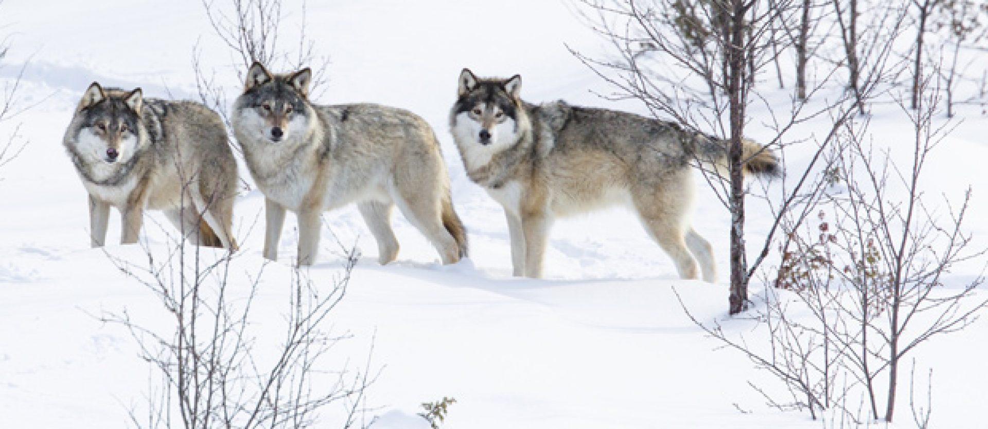 Wolves of Douglas County WI News Media & Films